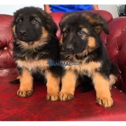 فروش سگ ژرمن شپرد German Shepherd
